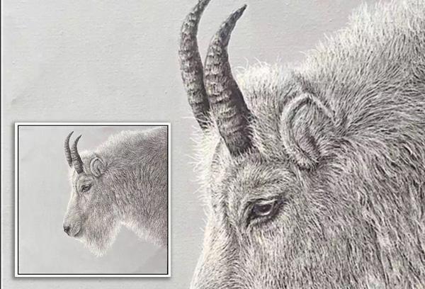 Scratchboard Goat Portrait